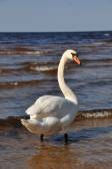 White Swan swimming at sea — Stock Photo
