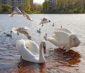 Swans and seagulls — Stock Photo