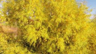 鸟瞰图的黄色叶树 — 图库视频影像