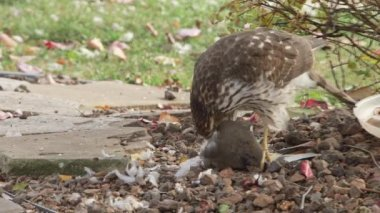 Hawk eating prey — Stock Video