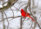 Male Northern Cardinal Perched On A Limb — Stock Photo