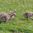Canada Goose Goslings Looking For Food In The Grass — Stock Photo #66442993