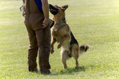 Police Dog In Training — Stock Photo
