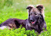 Big fluffy dog playing in the grass — Stock Photo