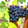 Bunch of grapes growing on the vinebeautiful burgundy Most vine — Stock Photo #69701147