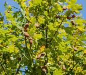 Oak acorns — Stock Photo