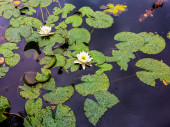 Water lilies in the rain — Stock Photo