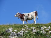 Cow in Jura — Stock Photo