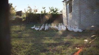 Ducks walking down poultry yard — Stock Video