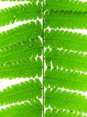 Green Leave of Fern — Stock fotografie