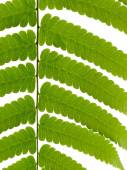Green Leave of Fern — Stock Photo