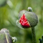 A borning of red poppie — Stock Photo