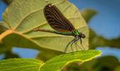O inseto mais bonito neste planeta é a libélula — Fotografia Stock