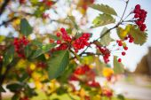 Close up of bunch of rowan berries in autumn — Stock Photo