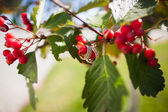 Wedding rings on the a tree blooming with Rowan berries in the fall — Stock Photo