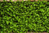 Green sprouts growing from seeds. Pepper — Foto Stock