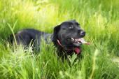 Black Labrador Retriever dog laying on grass — Stock Photo