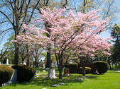 Pink Dogwood Tree — Stock Photo