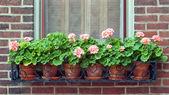 Geraniums in Wrought Iron Window Box — Stock Photo