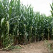 Corn Field Path — Stock Photo #67747839