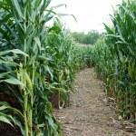 Corn Maze Trail — Stock Photo #67748145