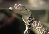 Retro Baby Alligator in Tank — Stock Photo