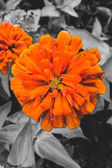 Out standing orange flower, black and white background — Stock Photo