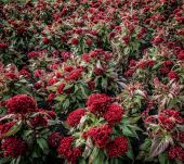 Red flower pollen — Stock Photo