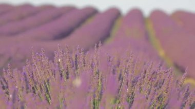 Avenues of grass separate the rows of lavender — Stock Video