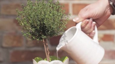 Thyme in a pot being watered — Stock Video