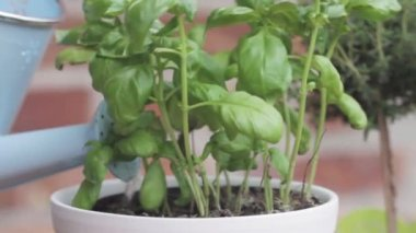 Basil in a pot being watered — Stock Video