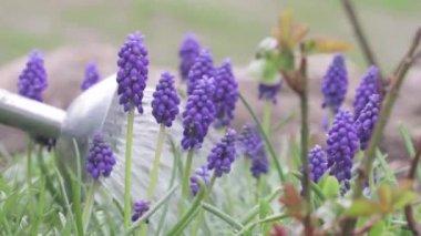 Grape hyacinths watered — Stock Video