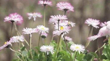 Bellis flowers outside — Stok video