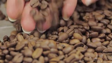 Female hands gathering coffee beans — Stock Video
