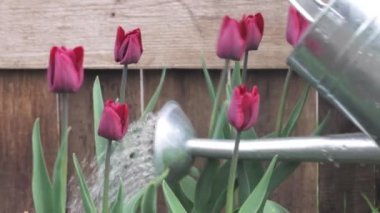 Tulips being watered with a watering can — Stock Video