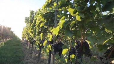 Blaufrankisch grapes on a vines — Stock Video