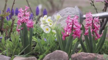 Primroses being watered with a watering can — Stock Video