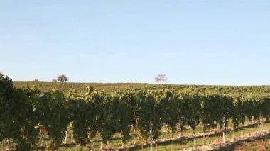 A vineyard in Austria — Stock Video