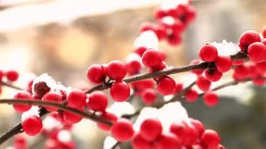 Winter berries with snow — Stock Video