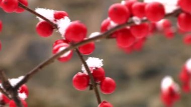 Berries covered with snow — Video Stock