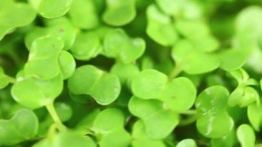 Cress leaves rotating — Stock Video