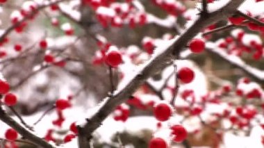 Berries covered in snow — Stock Video