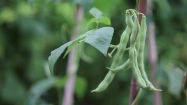 Green beans being picked — Stock Video
