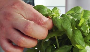 Picking basil leaves — Stockvideo