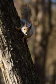 Squirrel on tree trunk — Stock Photo