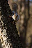 Ağaç gövdesinde sincap — Stok fotoğraf