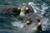 Dolphins in dolphinarium pool — Stock Photo