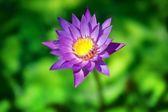 Lotus flower close up — Stock Photo