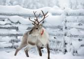 Reindeer near fence in winter — Stock Photo