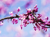 Western Red-bud — Stock Photo